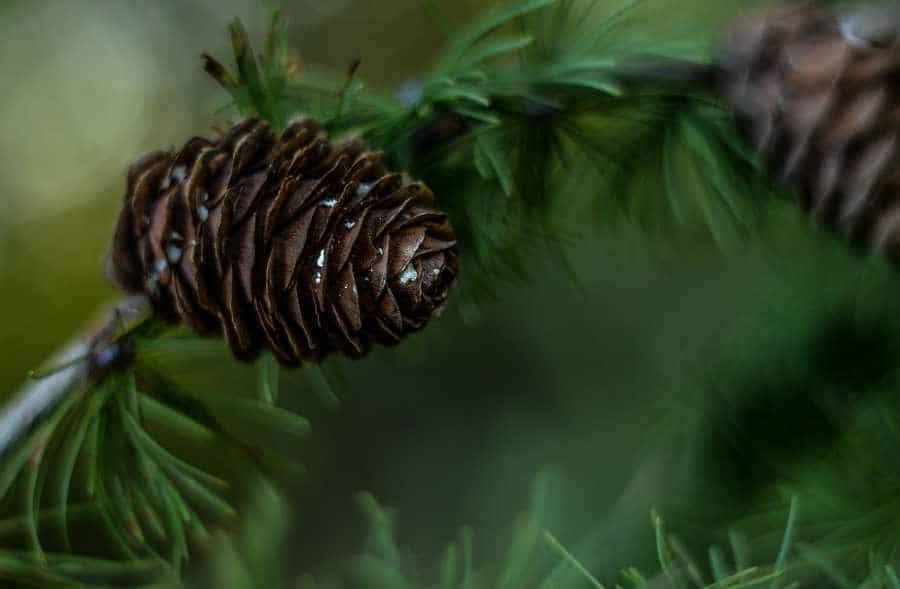 pine-cone-1741178_1280A